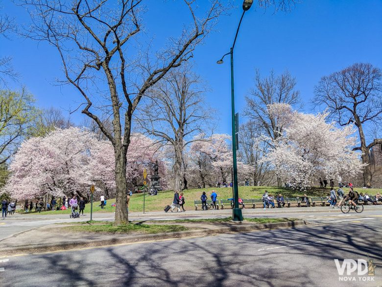 A época das cerejeiras é uma das mais lindas do ano. Foto das cerejeiras floridas com o céu azul ao fundo
